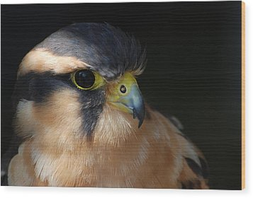 Kestrel Falcon Wood Print by Amy Porter
