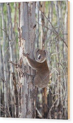 Koala Bear Wood Print by Ashley Cooper