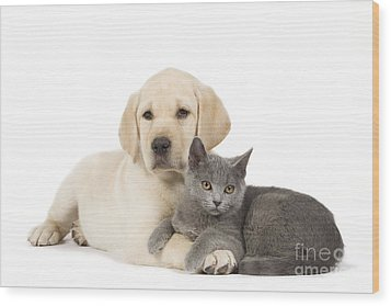 Labrador Puppy With Chartreux Kitten Wood Print by Jean-Michel Labat
