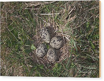 Lapwing Nest Wood Print