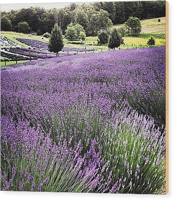 Lavender Farm Landscape Wood Print by Christy Beckwith