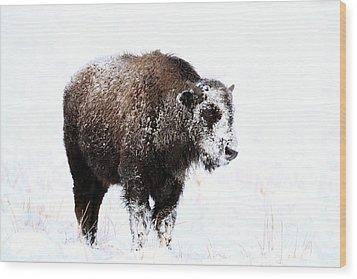 Lone Calf Wood Print