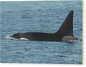Wood Print featuring the photograph Male Orca Killer Whale In Monterey Bay California 2013 by California Views Mr Pat Hathaway Archives
