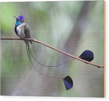 Marvelous Spatuletail Wood Print by Max Waugh