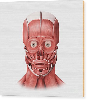 Medical Illustration Of Male Facial Wood Print by Stocktrek Images
