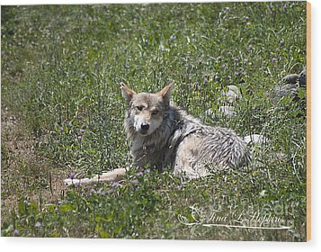 Wood Print featuring the photograph Mexican Wolf I by Tina Hopkins