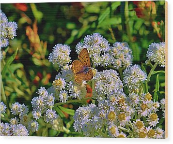 Moth On Pearly Everlasting Wood Print