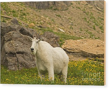 Mountain Goat In Glacier National Park Wood Print by Natural Focal Point Photography
