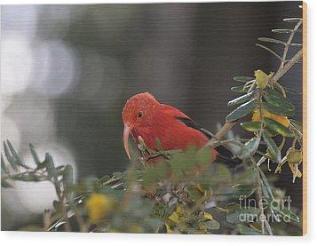One 'i'iwi Bird Extracting Nectar Wood Print by Sami Sarkis