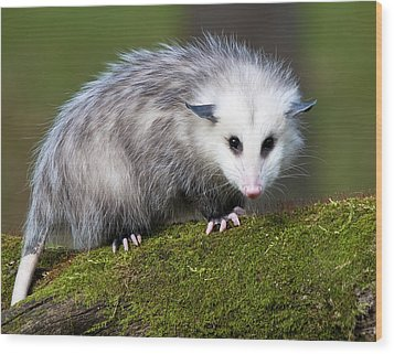 Opossum  Wood Print by Paul Cannon