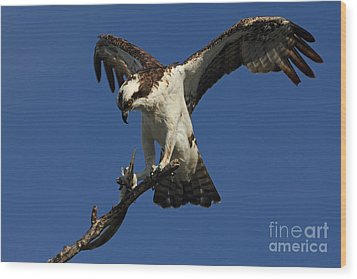 Wood Print featuring the photograph Osprey With A Fish Photo by Meg Rousher