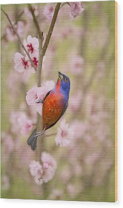 Painted Bunting In Spring Wood Print