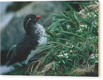 Parakeet Auklet Wood Print by Art Wolfe
