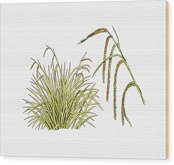 Pendulous Sedge (carex Pendula) Wood Print by Science Photo Library