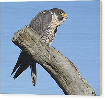 Peregrine Falcon Wood Print by Paulette Thomas