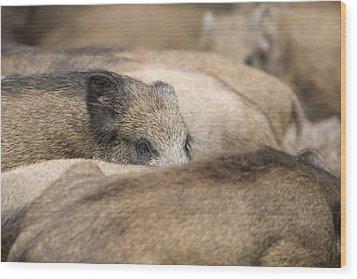 Piglets In Hochwildpark Rhineland Kommern Mechernich Germany Wood Print by Ronald Jansen