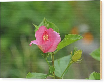 Wood Print featuring the photograph Pink Hybiscus Bud by Jodi Terracina