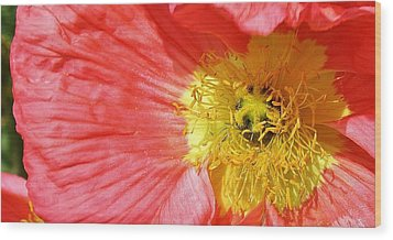Pink Poppy Close Up Wood Print by Bruce Bley