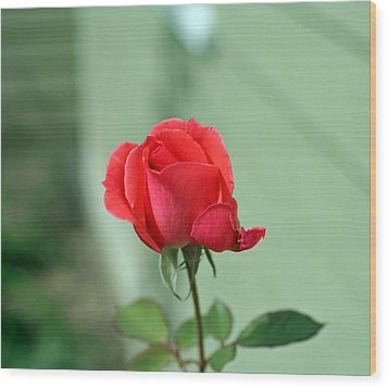 Pink Rose Wood Print by Larry Stolle
