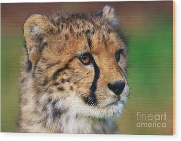 Wood Print featuring the photograph Portrait Of A Cheetah Cub by Nick  Biemans
