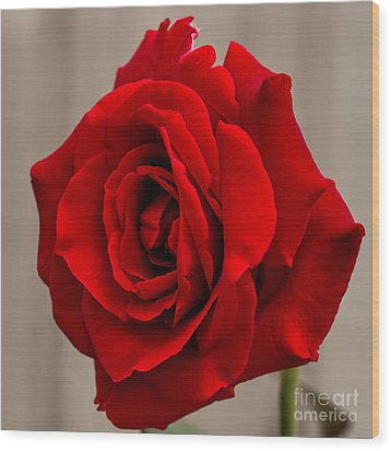 Portrait Of A Rose Wood Print by Dave Bosse