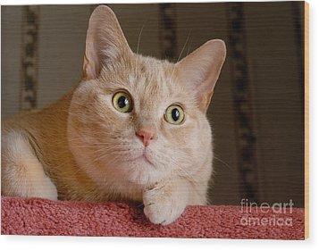 Portrait Orange Tabby Cat Wood Print by Amy Cicconi