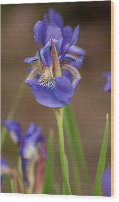 Purple Bearded Iris Wood Print
