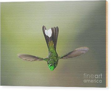 Wood Print featuring the photograph Purple-bibbed White-tip Hummingbird by Dan Suzio