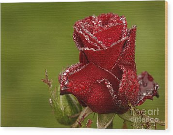 Raindrops On Roses Wood Print by Inge Riis McDonald