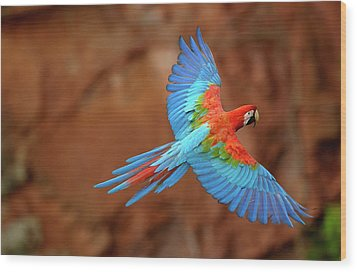 Red And Green Macaw Flying Wood Print
