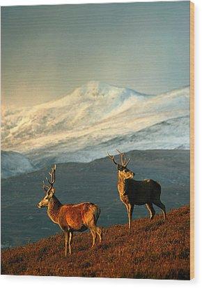 Red Deer Stags Wood Print
