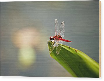Red Dragonfly Wood Print by Ulrich Schade