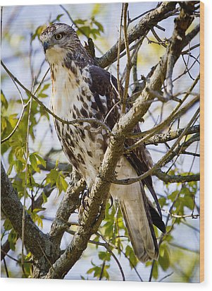 Wood Print featuring the photograph Red Tailed-hawk by Ricky L Jones