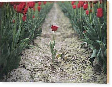Red Tulips Wood Print by Jim Corwin