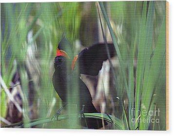 Red-winged Blackbird Wood Print by Steven Ralser