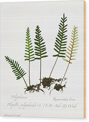 Resurrection Fern 2 Wood Print