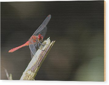 Wood Print featuring the photograph Ruddy Darter Dragonfly - Sympetrum Sanguineum by Jivko Nakev