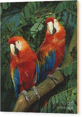 Scarlet Macaw Wood Print by Hans Reinhard