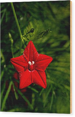 Wood Print featuring the photograph Scarlet Morning Glory by Ramabhadran Thirupattur