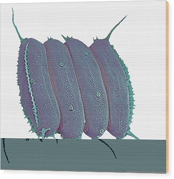 Scenedesmus Algae, Sem Wood Print by Science Photo Library