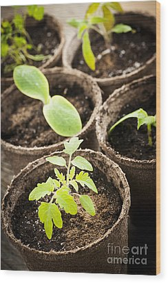 Seedlings Growing In Peat Moss Pots Wood Print by Elena Elisseeva