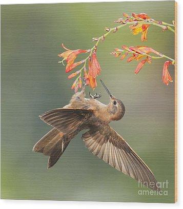 Wood Print featuring the photograph Shining Sunbeam Hummingbird by Dan Suzio