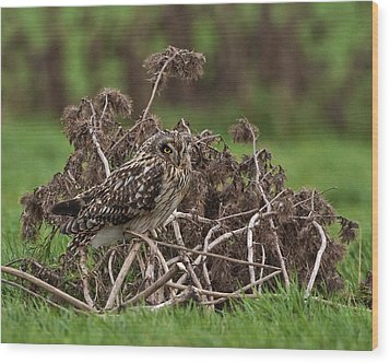 Wood Print featuring the photograph Short Eared Owl by Paul Scoullar