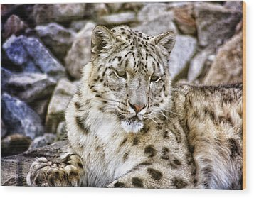 Snow Leopard Wood Print by Daniel Precht