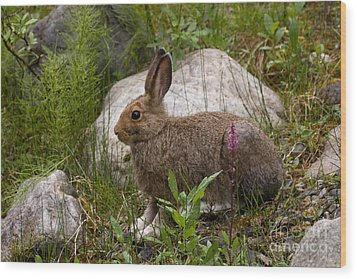 Wood Print featuring the photograph Snowshoe Hare by Chris Scroggins