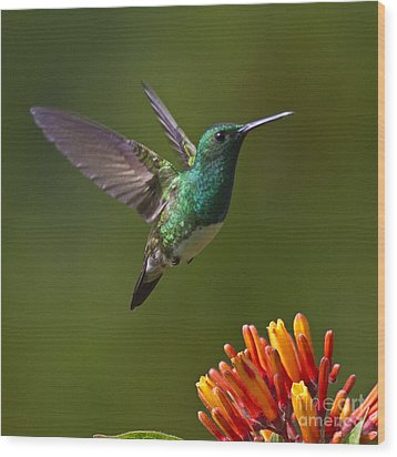 Snowy-bellied Hummingbird Wood Print by Heiko Koehrer-Wagner