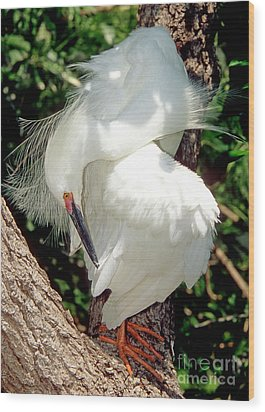 Snowy Egret In Breeding Plumage Wood Print by Millard H. Sharp