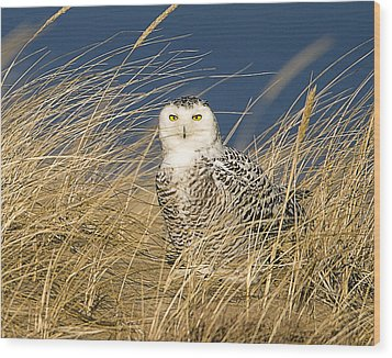Snowy Owl In The Dunes Wood Print by John Vose