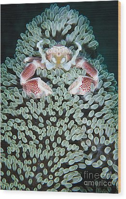 Spotted Porcelain Crab In Anemone Wood Print by Steve Jones