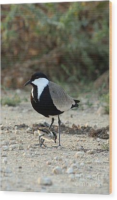 Spur-winged Plover And Chick Wood Print